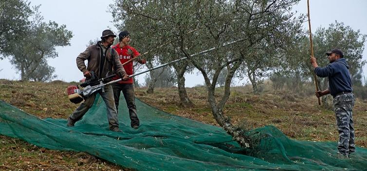 Colheita da azeitona em Alfândega da Fé - nacionalidade portuguesa
