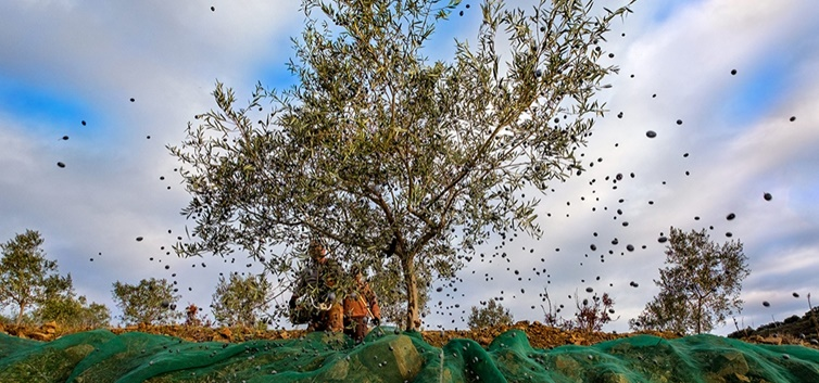 Colheita da azeitona em Vila Flor - nacionalidade portuguesa