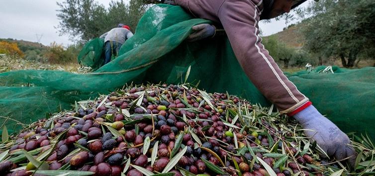 Selecção da azeitona em Vila Nova de Foz Côar - nacionalidade portuguesa
